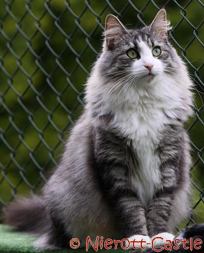 Rasseportrait Der Norwegischen Waldkatze